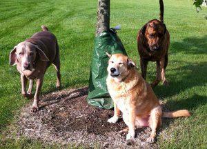 honden met overgewicht