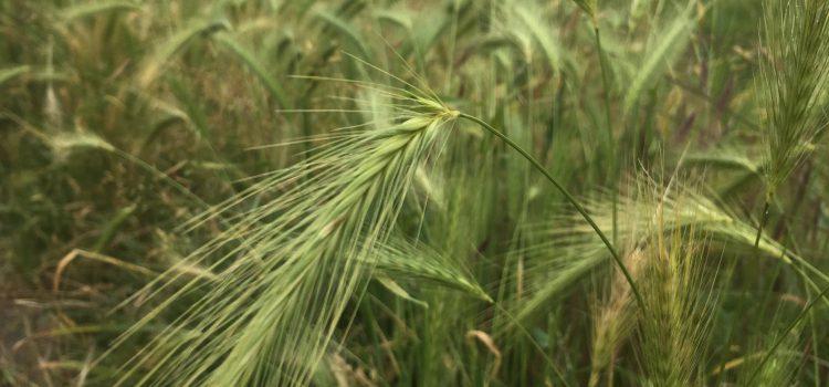 Hoog gras, pas op voor grasaren