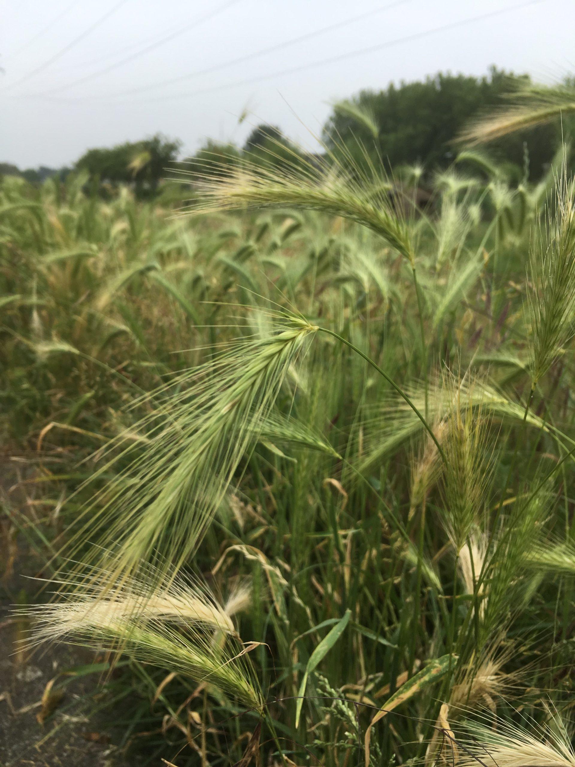 Lees meer over het artikel Hoog gras, pas op voor grasaren